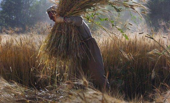 A farmer gathers wheat in Bamyan, Afghanistan.