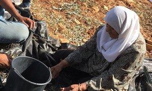 一名巴勒斯坦女性在被占领土上收获橄榄。