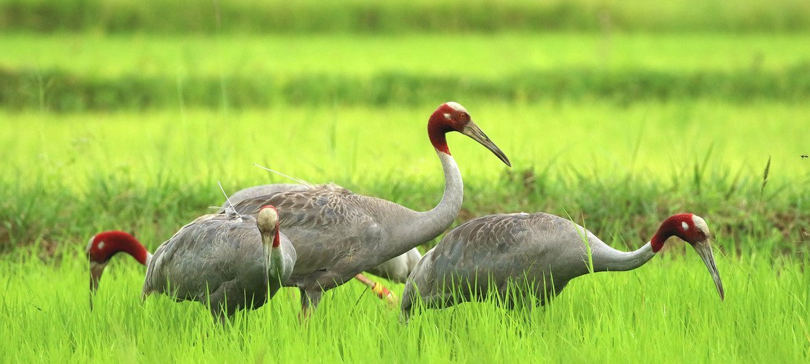 Eastern Sarus Cranes at a project site in Buriram Province, Thailand.
