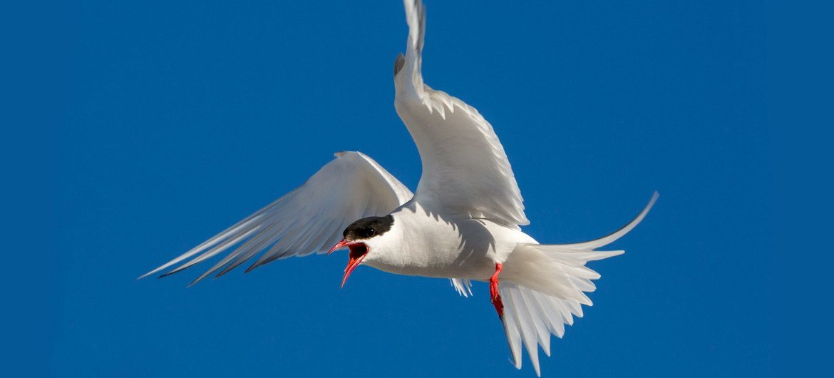 Arctic terns protect their offspring extremely aggressively.