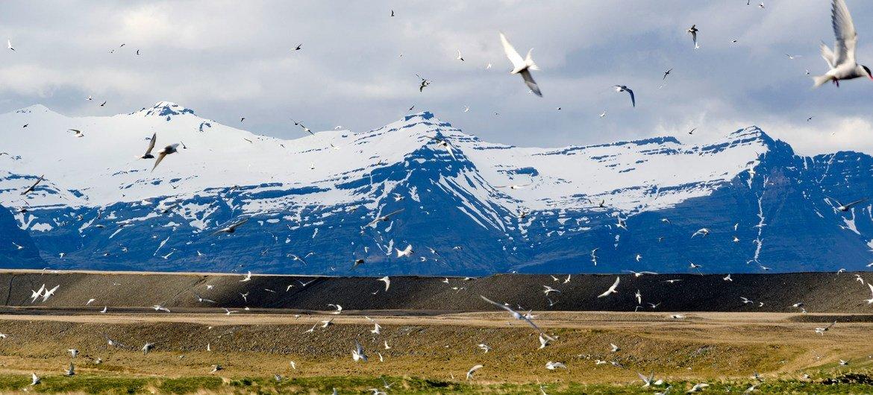 Andorinhas árticas na Islândia