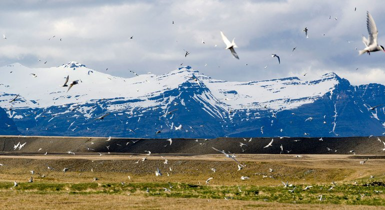Arctic terns nest at Jökulsárlón in Iceland.