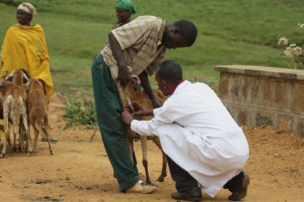 国际牲畜研究所的一位研究人员在埃塞俄比亚从绵羊身上收集血清样品。