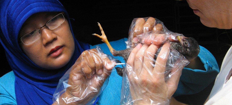 Investigadores del Instituto Internacional de Investigación Ganadera trabajan para controlar la gripe aviar en Indonesia.