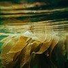 Le varech, un type d'algue, peut être donné aux animaux et pourrait contribuer à réduire les émissions de gaz à effet de serre.