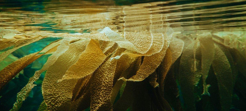 Las algas marinas pueden usarse como alimento para los animales y podrían ayudar a reducir las emisiones de gases de efecto invernadero.