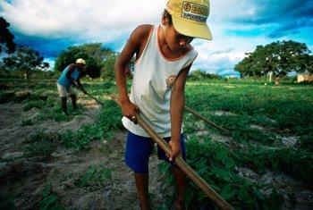 Menino ajuda família a trabalhar a terra no nordeste do Brasil. Rendimento per capita é o mais acentuado desde 1870.