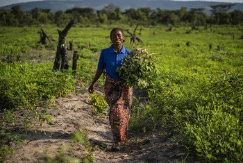A farmer in the Democratic Republic of the Congo has received agricultural training, tools, and seeds from FAO.