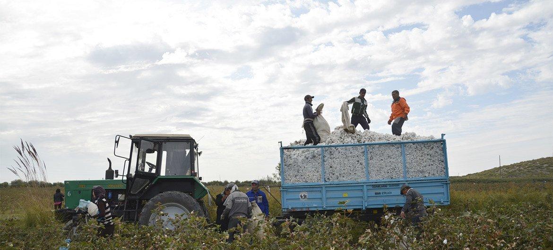 حصاد القطن في أفغانستان.