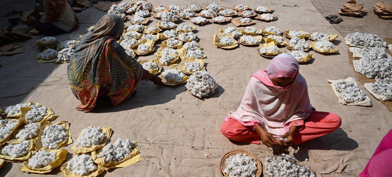 نساء عاملات ينظفن القطن في مدينة ملتان في باكستان