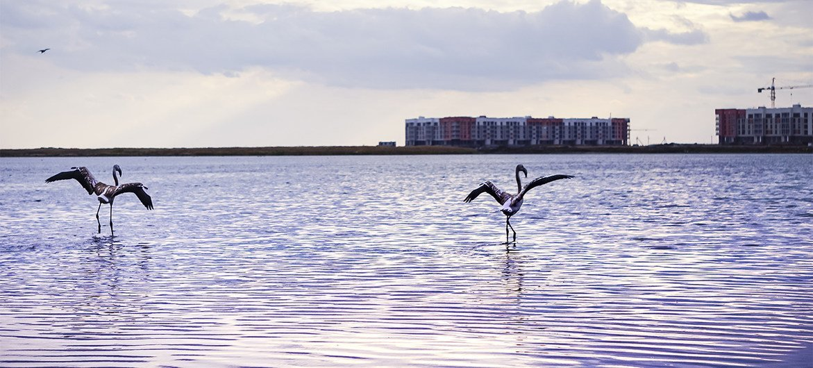 For the first time in many years, flamingos came to the Maly Taldykol lake in Kazakhstan's  capital Nur-Sultan.
