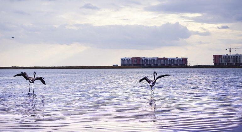Pour la première fois depuis de nombreuses années, des flamants roses sont venus au lac Maly Taldykol, à Nur-Sultan, la capitale du Kazakhstan.
