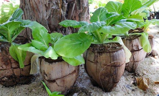 Islanders on Kiribati have started growing lettuces in empty coconut fruits.