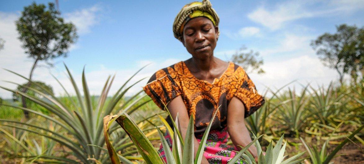 Una mujer cultivando piñas en Zambia.