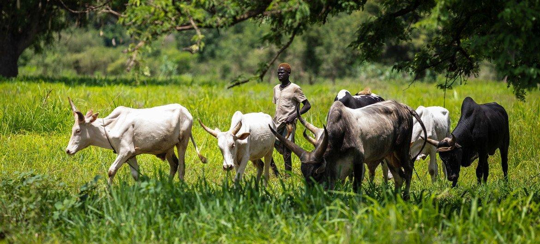 Из-за нехватки плодородных земель в некоторых странах возникают конфликты между земледельцами и животноводами.