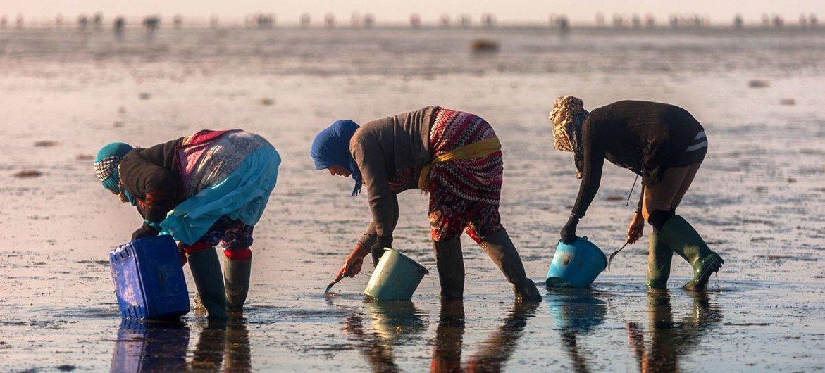 تساعد الفاو في خلق سبل عيش مستدامة لهواة جمع البطلينوس(المحار) في تونس.