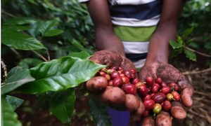 Mixed farming under the Kihamba land system in Kilimanjaro Tanzania makes the soil fertile for crops such as coffee