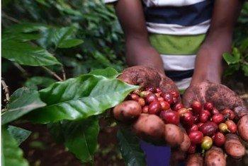 L'agriculture mixte dans le cadre du système foncier de Kihamba au Kilimandjaro en Tanzanie rend le sol fertile pour des cultures comme le café.