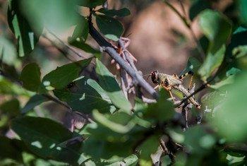 Um dos fatores que facilitam a praga de gafanhotos é a chuva que impulsiona a reprodução dos insetos.