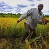 A farmer works in a rice field in Bagré, Burkina Faso.