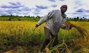Un agriculteur travaille dans une rizière à Bagré, au Burkina Faso.