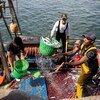 Des pêcheurs déchargent leurs prises d'un bateau à Casablanca, au Maroc.