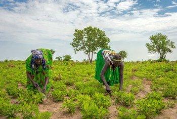 Des femmes travaillent dans un champ de l'État de Jubek, au Soudan du Sud, où le Programme alimentaire mondial promeut une agriculture durable pour renforcer les revenus et les moyens de subsistance.