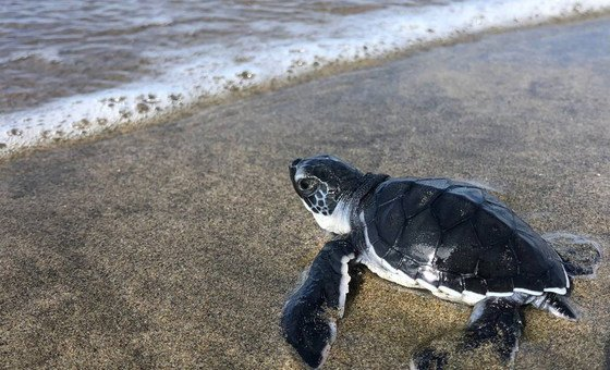 Una tortuga se encamina al mar en el Pacífico mexicano. Michoacán, México.