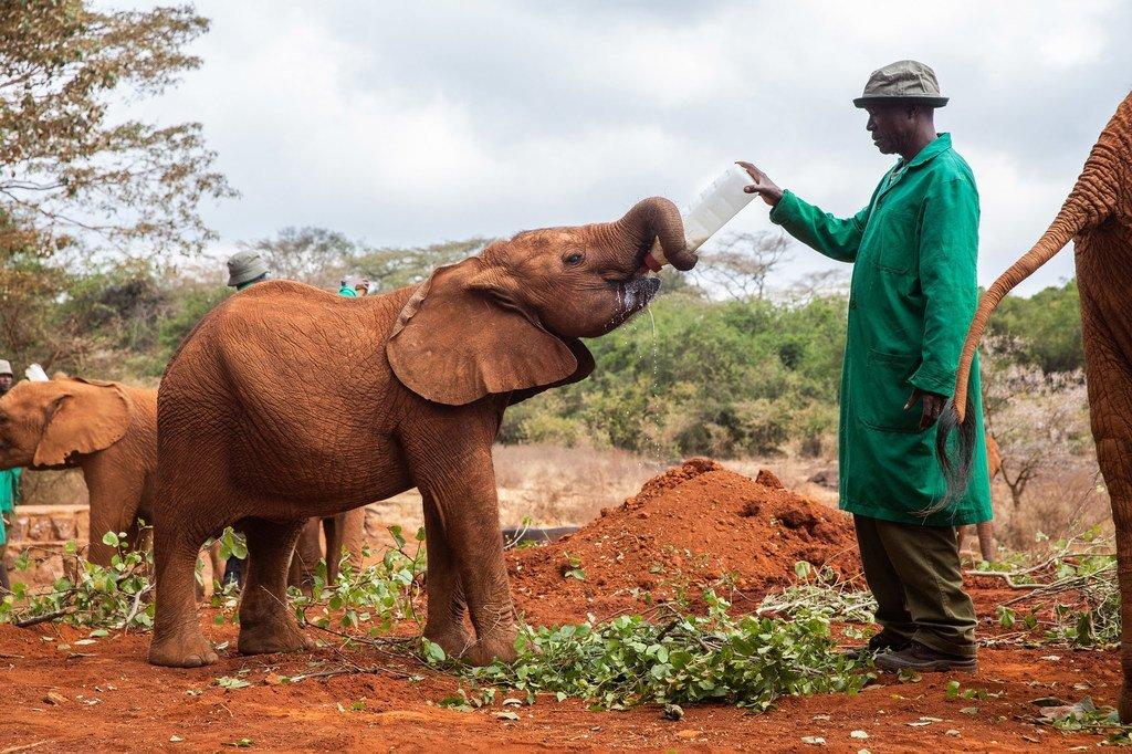 Tembo yatima aliyeokolewa huko David Sheldrick kituo cha  Wanyamapori Trust nchini Kenya.