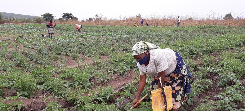 A Escola de Campo de Agricultores em Malanje, Angola, foi implementada pela FAO