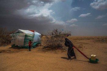 在也门北部靠近沙特边境的一个流离失所者营地,一名老妇人正在将水拖回她的帐篷。