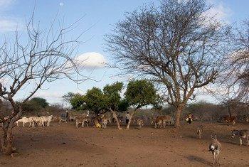 Ganado bebiendo cerca de un pozo en Kenia.