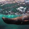 Una foca nada en las Islas Galápagos, en Ecuador.