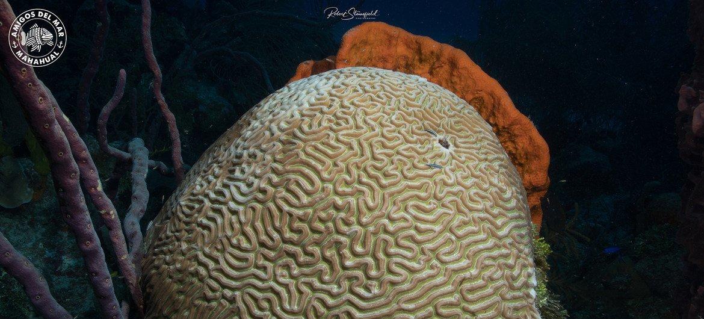 El coral cerebro es uno de los más afectados por el Síndrome Blanco.