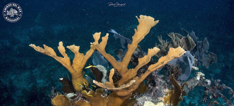 El síndrome blanco puede matar a un coral sano en 40 días.