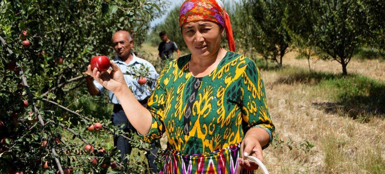 乌兹别克斯坦种植苹果的果农。
