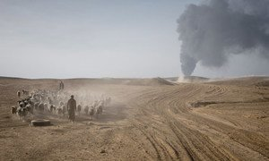 A herder leads his livestock away from fighting between Iraqi forces and ISIL in southern Mosul, Iraq. (file)