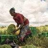 Une femme trie les haricots verts qu'elle a récoltés dans une ferme coopérative à Taveta, au Kenya.