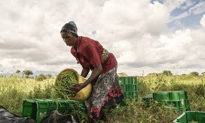 A woman sorts French beans that she harvested at a cooperative farm in Taveta, Kenya.