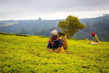 Workers pick tea in Tanzania. Changes in the climate have affected crops such as tea, across the world.