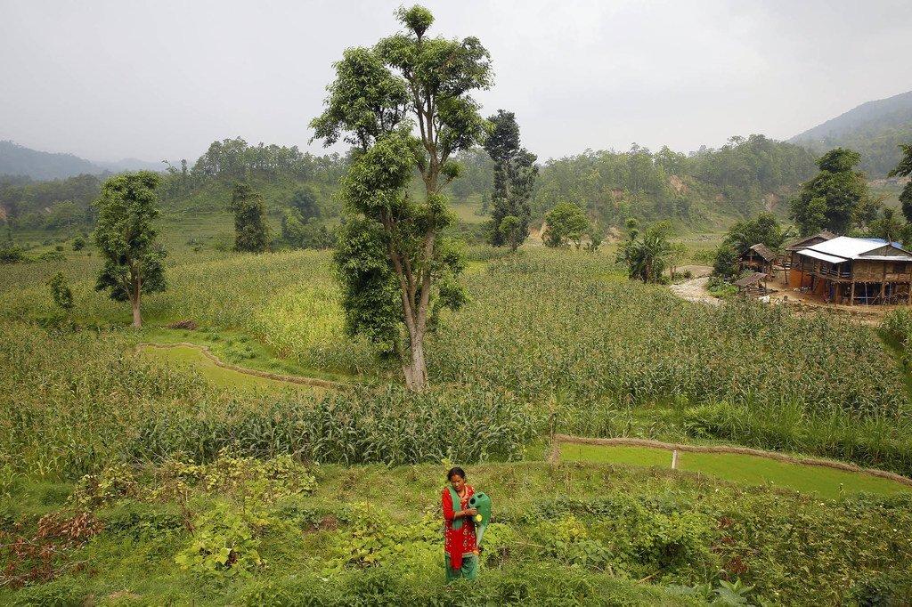 尼泊尔农村妇女农民钱德拉·卡拉·塔帕(Chandra Kala Thapa)在自家村子附近的田野里劳作。 (资料图片)