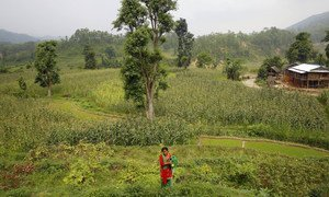 A farmer in rural Nepal tends to the crops. Nature-based solutions are low-cost options to reduce climate risks, protect biodiversity and bring benefits for communities. (file photo)