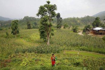नेपाल के एक गांव में खेतों में काम करती महिला.