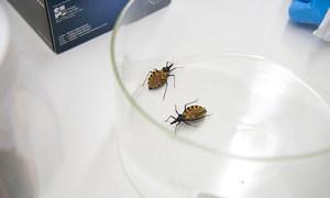 La chinche triotamina, que se encuentra principalmente en América Latina y el sur de EE.UU., causante de la enfermedad de Chagas.