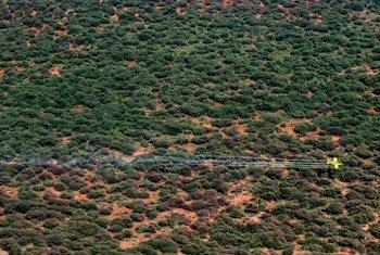 Operação de pulverização aérea contra invasão de gafanhotos do deserto em Samburu, no Quênia.