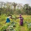 Des agricultrices de la Koinadugu Women's Vegetable Cooperative en Sierra Leone, récoltent les choux de leur potager communautaire.