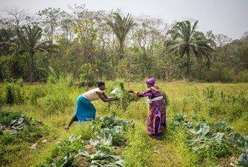塞拉利昂女性蔬菜合作社的农户正在采收卷心菜。