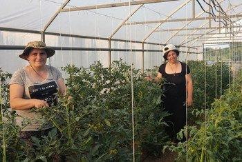 Несмотря на сложности, связанные с пандемией, работницы овощного хозяйства Кети Томеишвили продолжили поставки продукции своим потребителям.