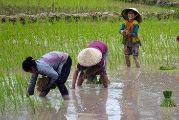Villagers grow rain-fed rice in Beung Kiat Ngong wetlands, Lao People's Democratic Republic. (File)