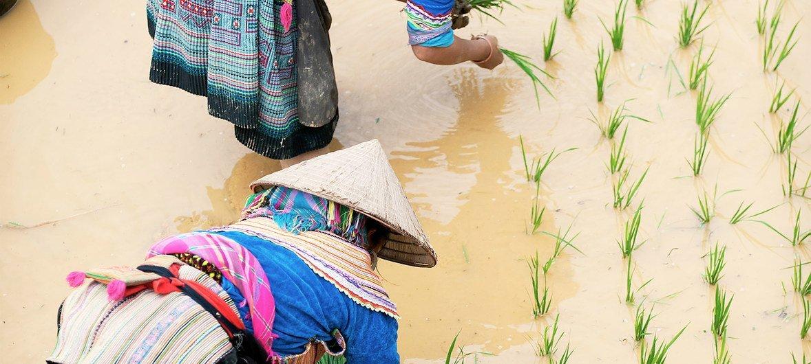 越南东北部北河县的赫蒙族妇女正在插秧。